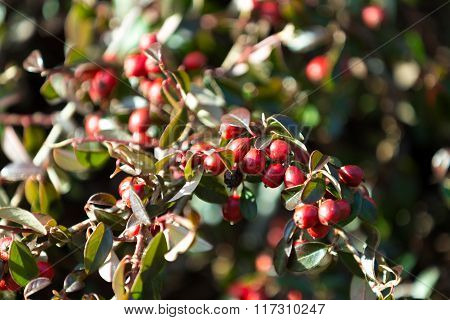 Background With Red Gaultheria