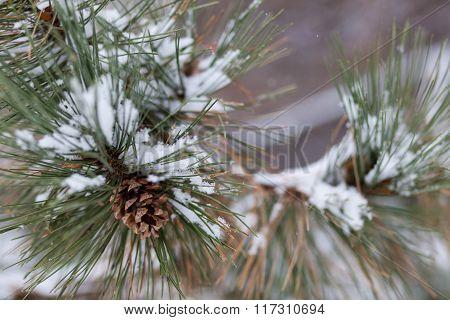 Snow Cone Pine Tree