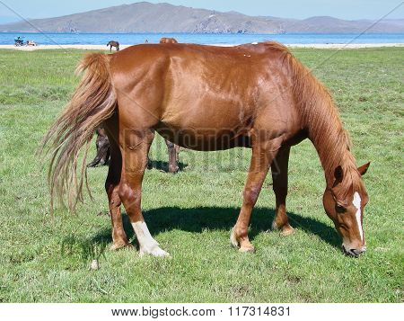 The Horse Is Grazed On The Bank Of The Lake