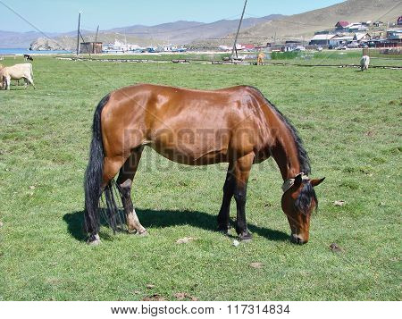 The Horse With A Black Tail Is Grazed On A Green Meadow