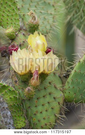 Blooming Prickly Pears (opuntia)..