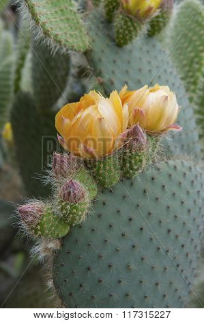 Flowering Cactus Opuntia (prickly Pear)..