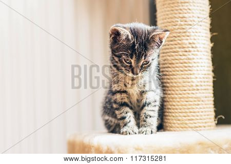 Adorable Pensive Baby Tabby Kitten