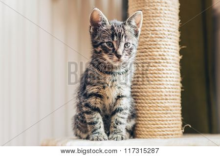Cute Baby Tabby Kitten With A New Scratching Post