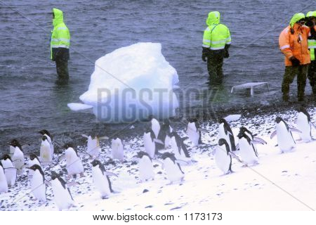 Marching Gentoo Penguins