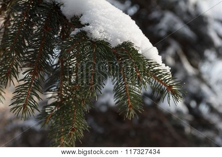 Background Spruce Branch With Snow Flakes. Christmas Holidays