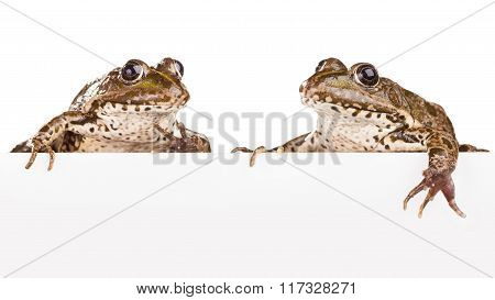 Two Frogs On A White Background