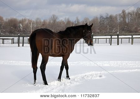 Horse Walking In Snow