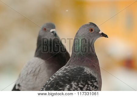 Pigeons Close-Up