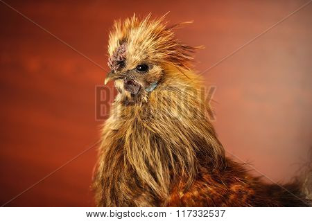 Chinese Silkie Rooster Close-Up