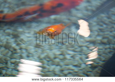 Single Red Koi Fish Swimming In Water