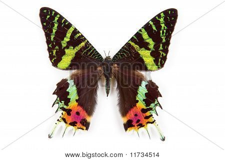 Butterfly Urania Ripheus Isolated
