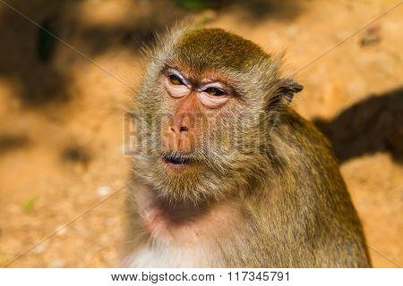 Monkey On The Island Ko Lan, Thailand