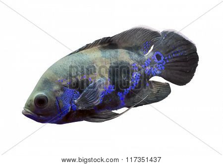 small dark spotted fish isolated on white background