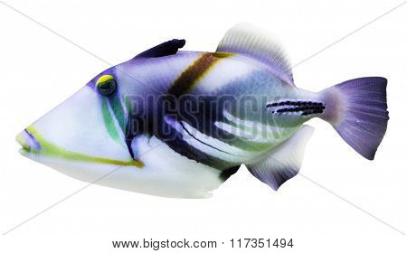 lilac fish isolated on white background