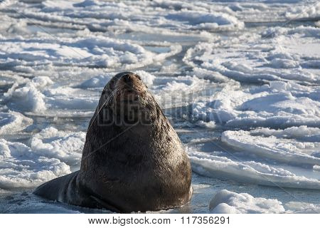 Steller's sea lion laying on the ice