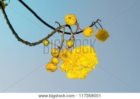 Yellow Silk Cotton Or Butter-cup Flowers Nature On Sky