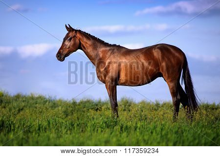 Beautiful bay horse standing in the grass against the sky.