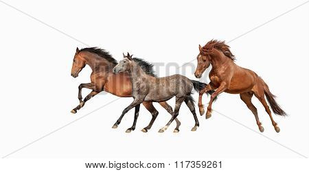 Herd of beautiful horses that gallop isolated on white background. Three Mustang in motion.