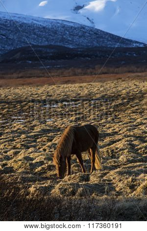 Icelandic Horse In Front Of Mountain Landscape