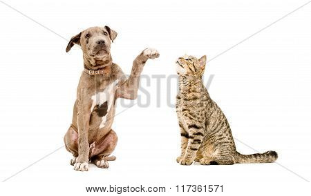 Playful puppy Pit bull and cat Scottish Straight