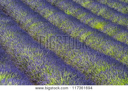 Plateau De Valensole (provence), Lavender