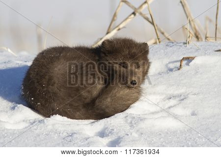 Commanders Blue Arctic Fox Which Is Resting On The Beach On A Sunny Winter Day In The Snow