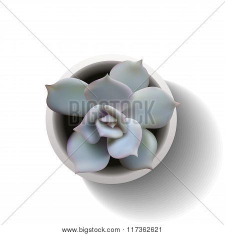 Echeveria Succulent Vector