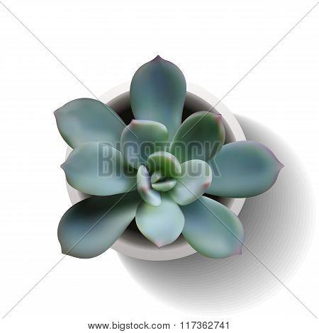Echeveria Succulent Vector5