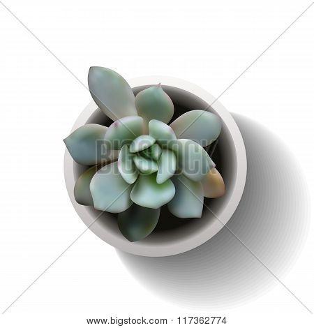 echeveria succulent vector6