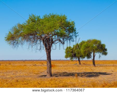 Acacia trees in open african savanna plains