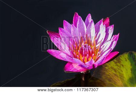 Lotus Or Waterlily