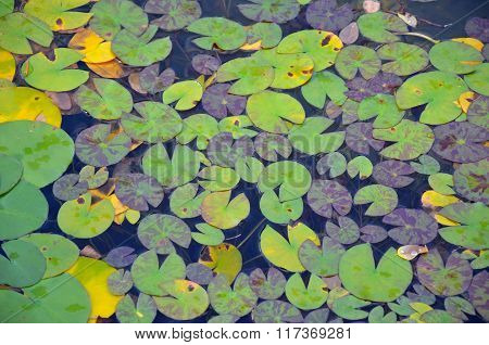 Lily pad Pattern On Pond