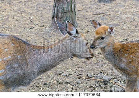 Mother Deer (roe) With Cub Fawn