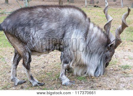 Horned Goat (markhor, Lat.: Capra Falconeri Heptneri)