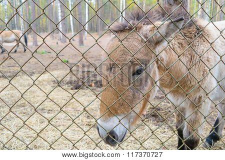 Przewalski Horse In a Reserve