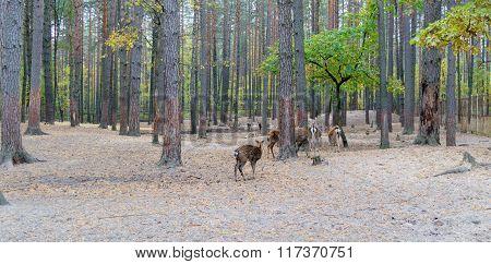 Herd Of Roe Deer Grazing In The Forest