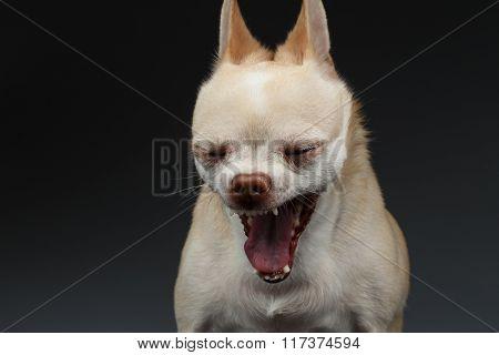Closeup Portrait Yawning Chihuahua Dog On Blue Background