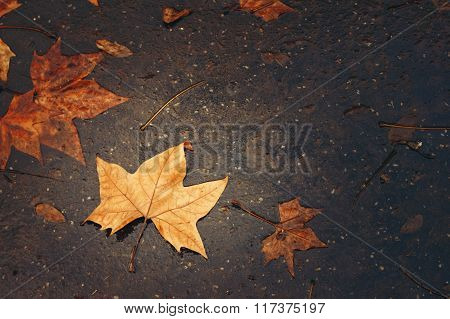 Autumn Background With Maple Leaf
