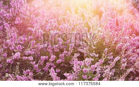 Pink heather with sun flare
