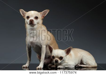 Portrait Two Chihuahua Dogs Sitting On Blue Background