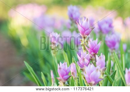 Curcuma Alismatifolia Or Siam Tulip Or Summer Tulip In The Garden Nature Thailand