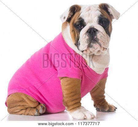 female english bulldog puppy sitting on white background
