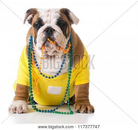 female english bulldog puppy sitting on white background