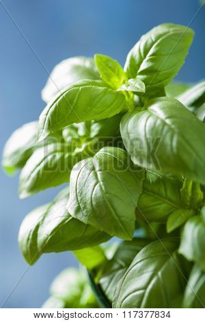 fresh basil leaves herb background