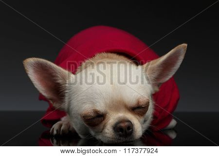 Closeup Portrait Sleeping Chihuahua Dog On Blue Background