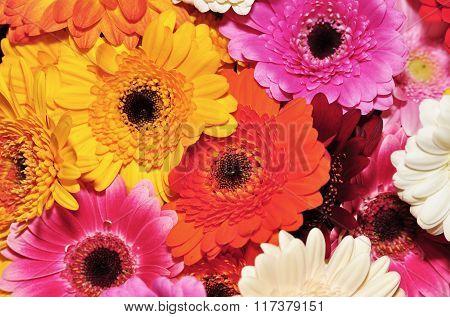 colored gerbera