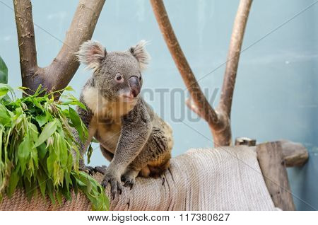 Koala Looking Something