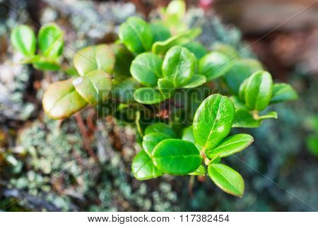 Young Leaves Of Bilberry