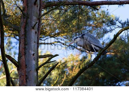 Gray heron in the forest
